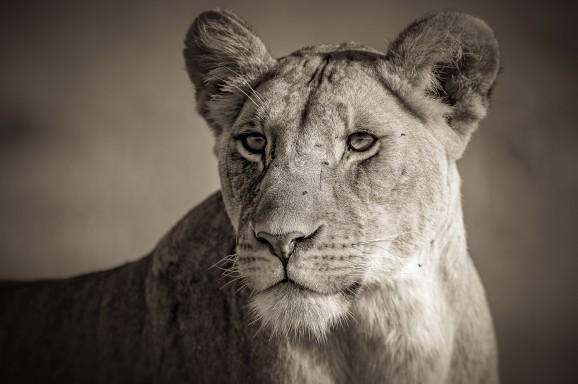 Pretty Lioness Monochrome © Marja Schwartz