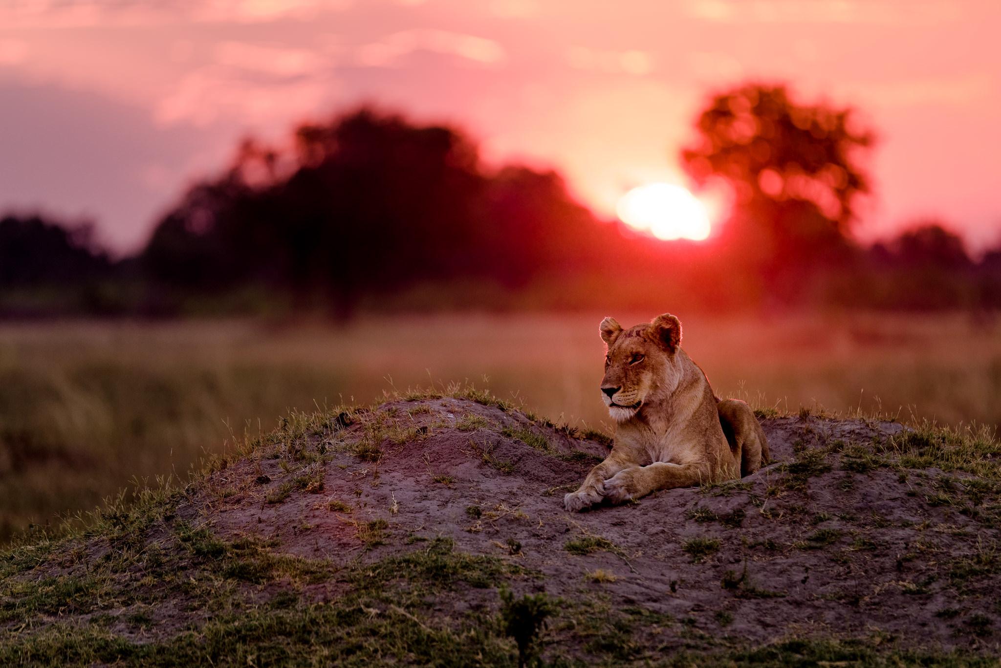Lioness-@-Sunset