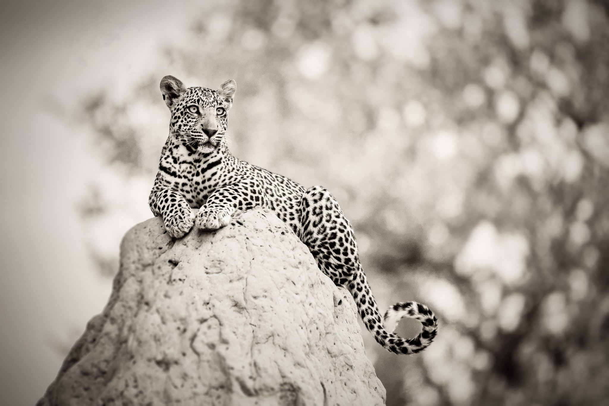 Leopard on Termite Mound