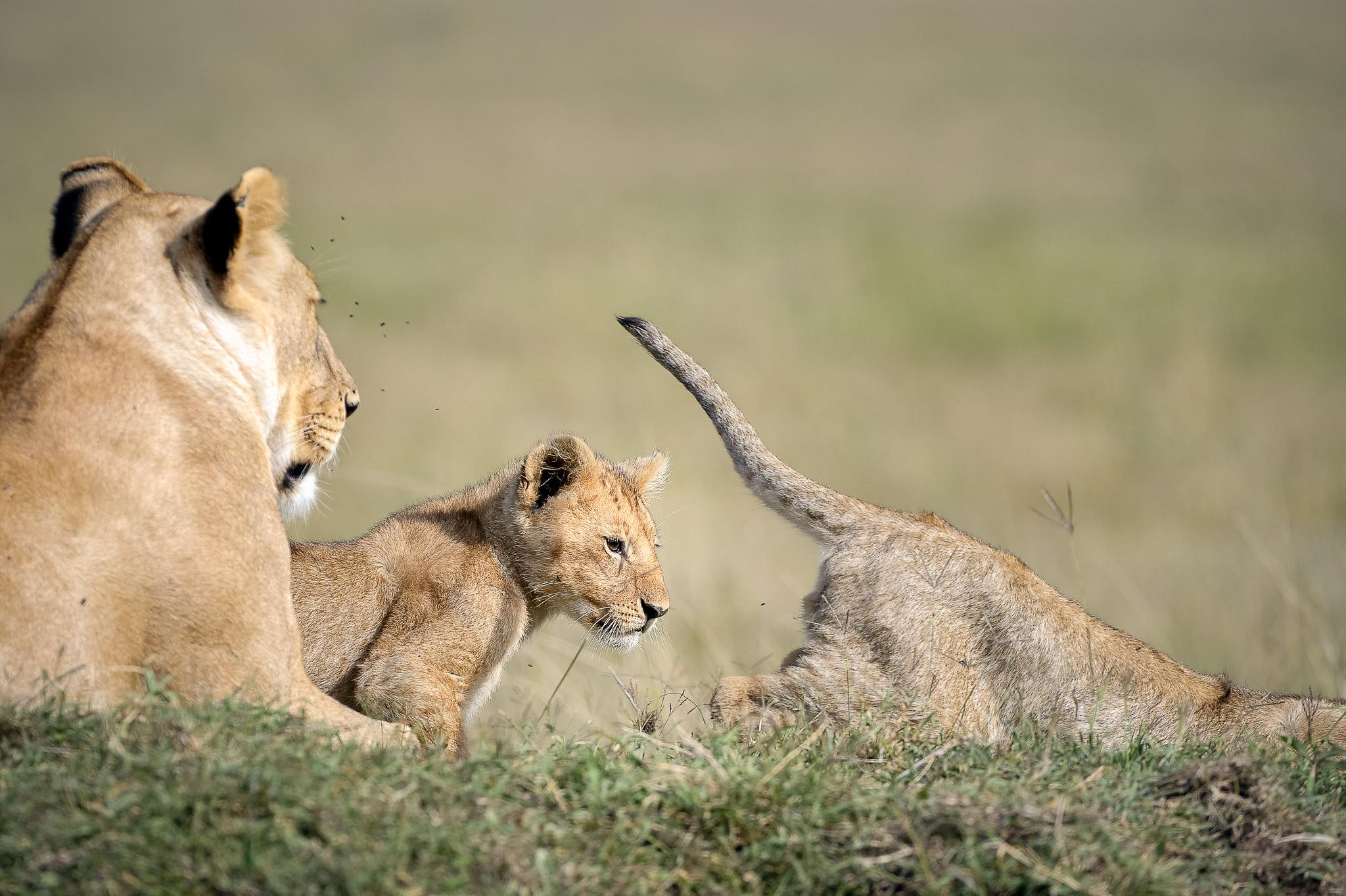 Curious-Lion-Cub