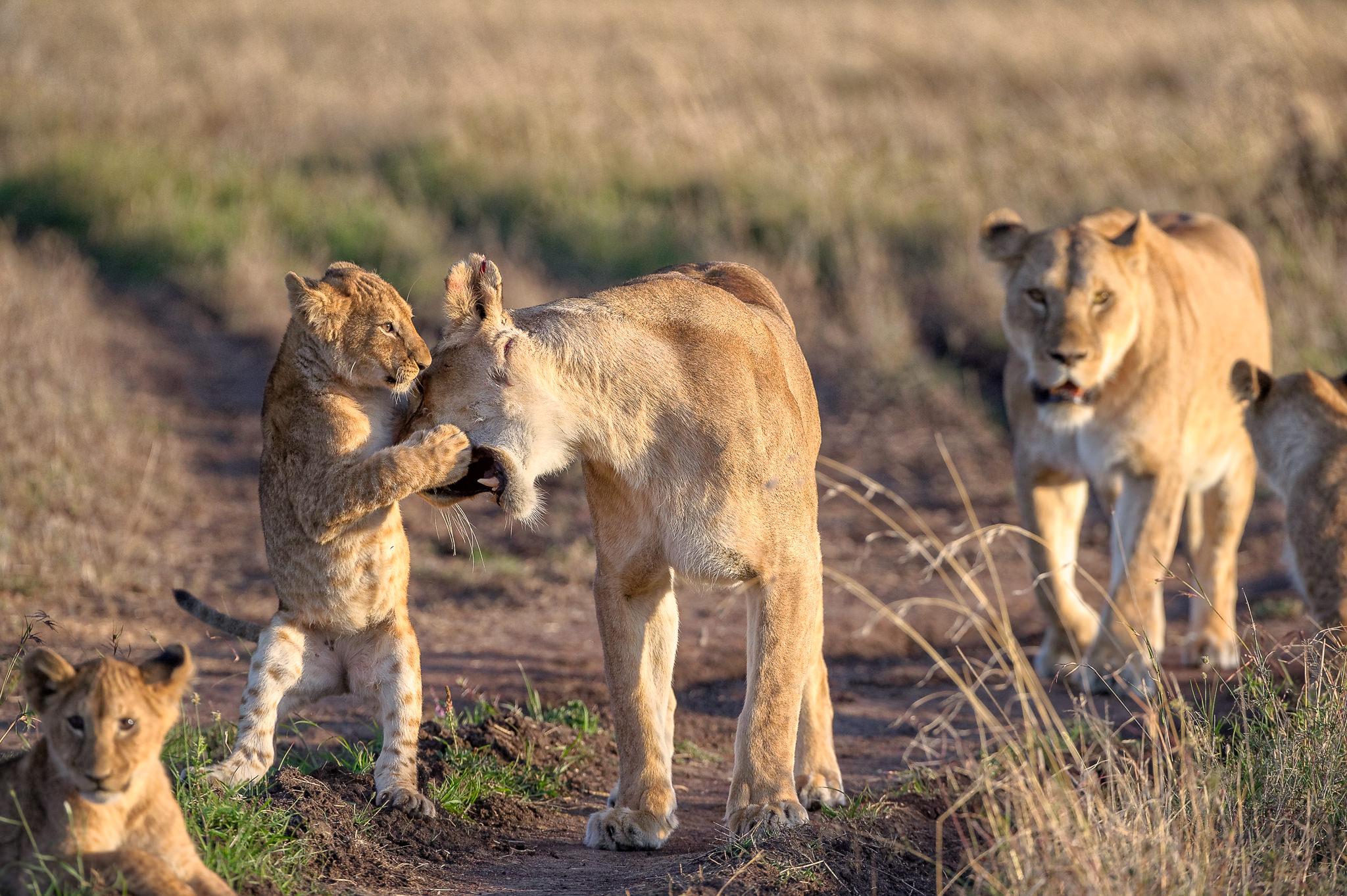 Lion-Cub-Playground